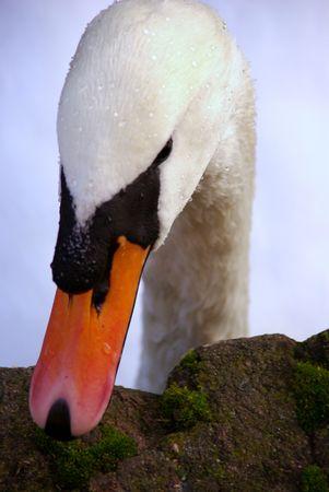 percept: a portrait of a mute swan Stock Photo