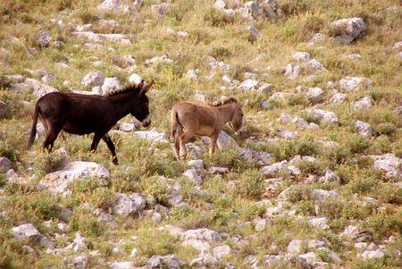 kornat: Donkeys at the Croatian island Kornat