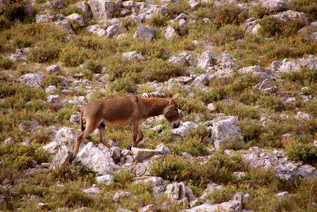 kornat: Donkey at the Croatian island Kornat Stock Photo