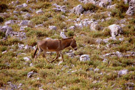 kornat: A walking donkey at the slopes of a hill