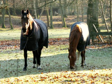 Two grazing horses in winter photo