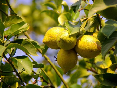 Lemons in a lemon tree