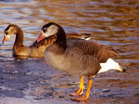 Two geese one at the ice and one in a hole in the ice Stock Photo