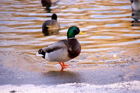 A male mallard at the ice Stock Photo - 4123048