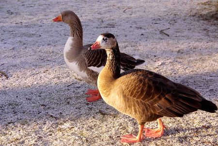 Geese at grass with ripe