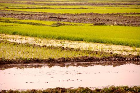 Rice fields in Vietnam Stock Photo - 4288208