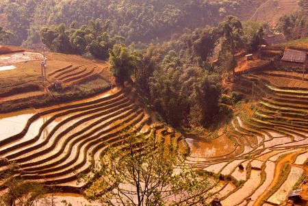 Rice field with terraces with red earth in the mountains near Sapa in Vietnam