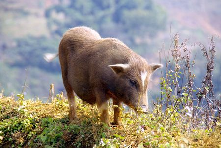 A Vietnamese pot bellied pig Stock Photo - 4288260