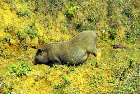 pot bellied: A vietnamese pot bellied pig