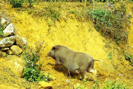 A vietnamese pot bellied pig photo