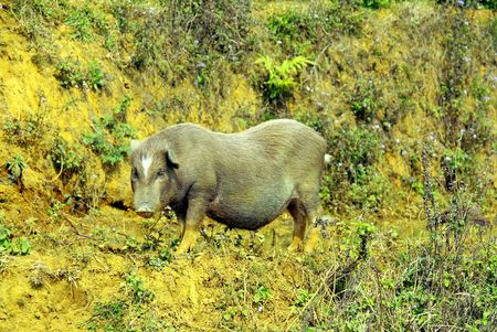 county side: A vietnamese pot bellied pig