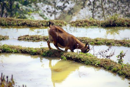 a goat at the rice field in the north of Vietnam Stock Photo - 4317429