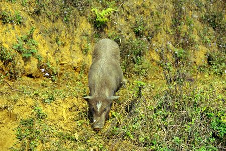A Vietnamese pig Stock Photo - 4317469