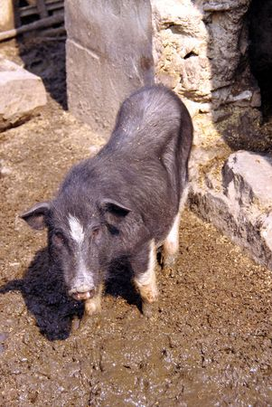 county side: A pot bellied pig in the mud Stock Photo