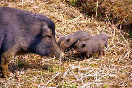 pot bellied: A pot bellied pig with three young ones