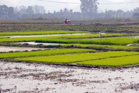 Rice fields in Vietnam Stock Photo - 4329785