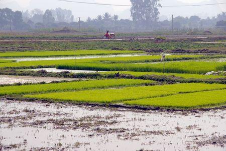 Rice fields in Vietnam Stock Photo - 4329785