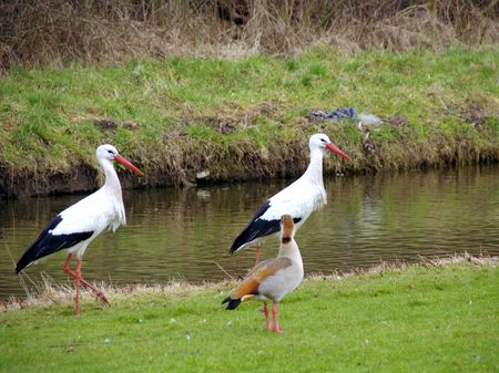 Two white storks and a egyptian goose photo
