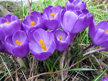 crocuses: Violet crocuses Stock Photo