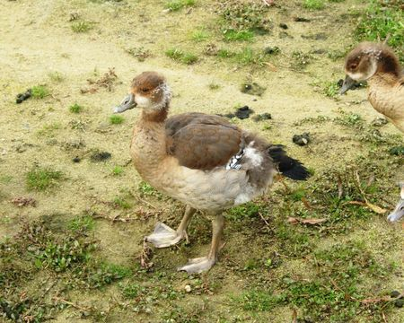a young Egyptian goose photo