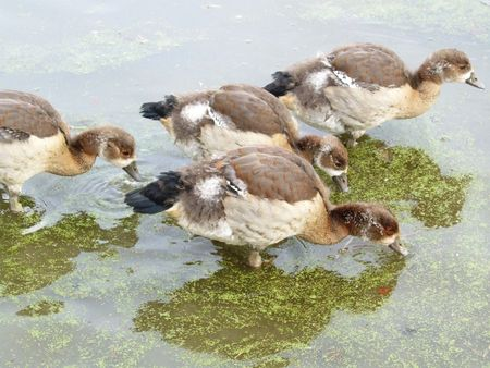 Young egyptian geese photo