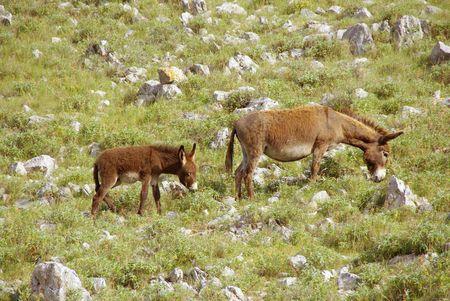 kornat: Donkeys at the hill of a Croatian island Stock Photo