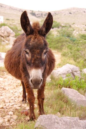 burro: Una embarazada burro