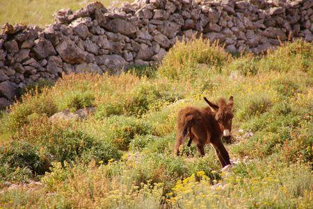 A Donkey foal
