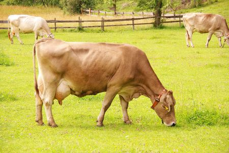 bloodstock: A brown swiss cow Stock Photo