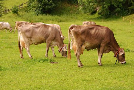 Grazing brown swiss cows photo