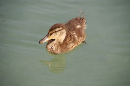 anas: A young mallard (anas platyrhynchos) Stock Photo