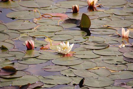Water lelies (Nymphaea alba)