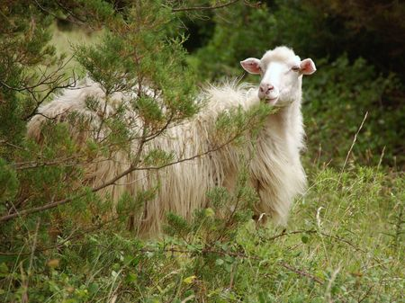 A white sheep in a forest photo