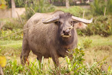 An alert water buffalo Stock Photo - 5165460