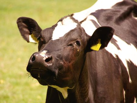 breeder: A portrait of a curious black and white cow