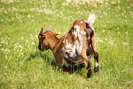 pygmy goat: A grazing pygmy goat in a meadow