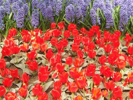 hyacinths: red tulips and blue hyacinths Stock Photo