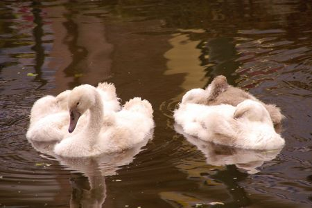 percept: Young mute swans in a canal Stock Photo