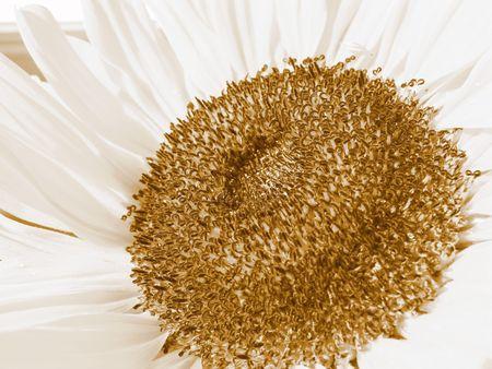 helianthus annuus: Sun flower in sepia (Helianthus annuus)