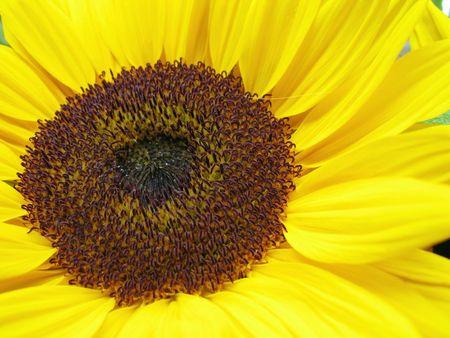 helianthus annuus: Sun flower (Helianthus annuus)