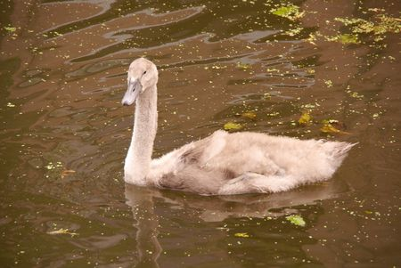 A young mute swan Stock Photo - 5280937
