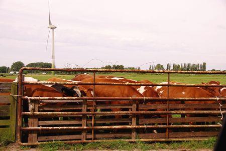 Cows behind a gate photo