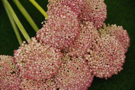 allium cepa: Flowering oniom (Allium Cepa)