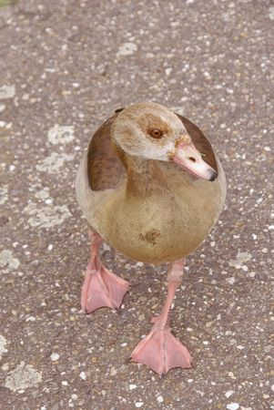An Egyptian goose photo