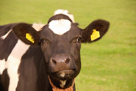 A portrait of a cow Stock Photo
