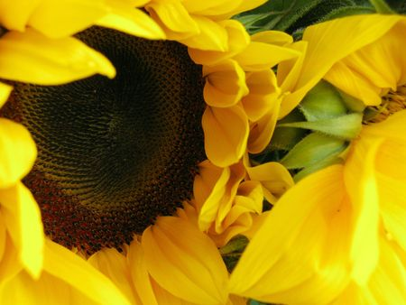 helianthus: A sunflower (helianthus annuus) Stock Photo