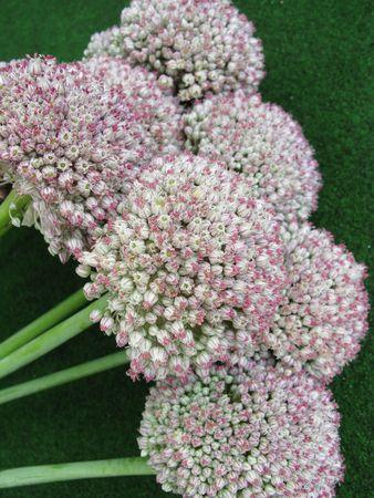allium cepa: The flowers of onions (allium cepa)