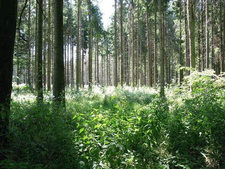 scots: Scots pines (pinus silvestris) Stock Photo
