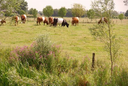 Dutch belted cows in a meadow Stock Photo - 5353648