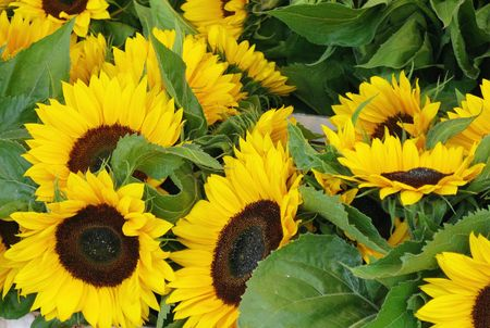 helianthus annuus: Sun flowers (helianthus annuus) Stock Photo